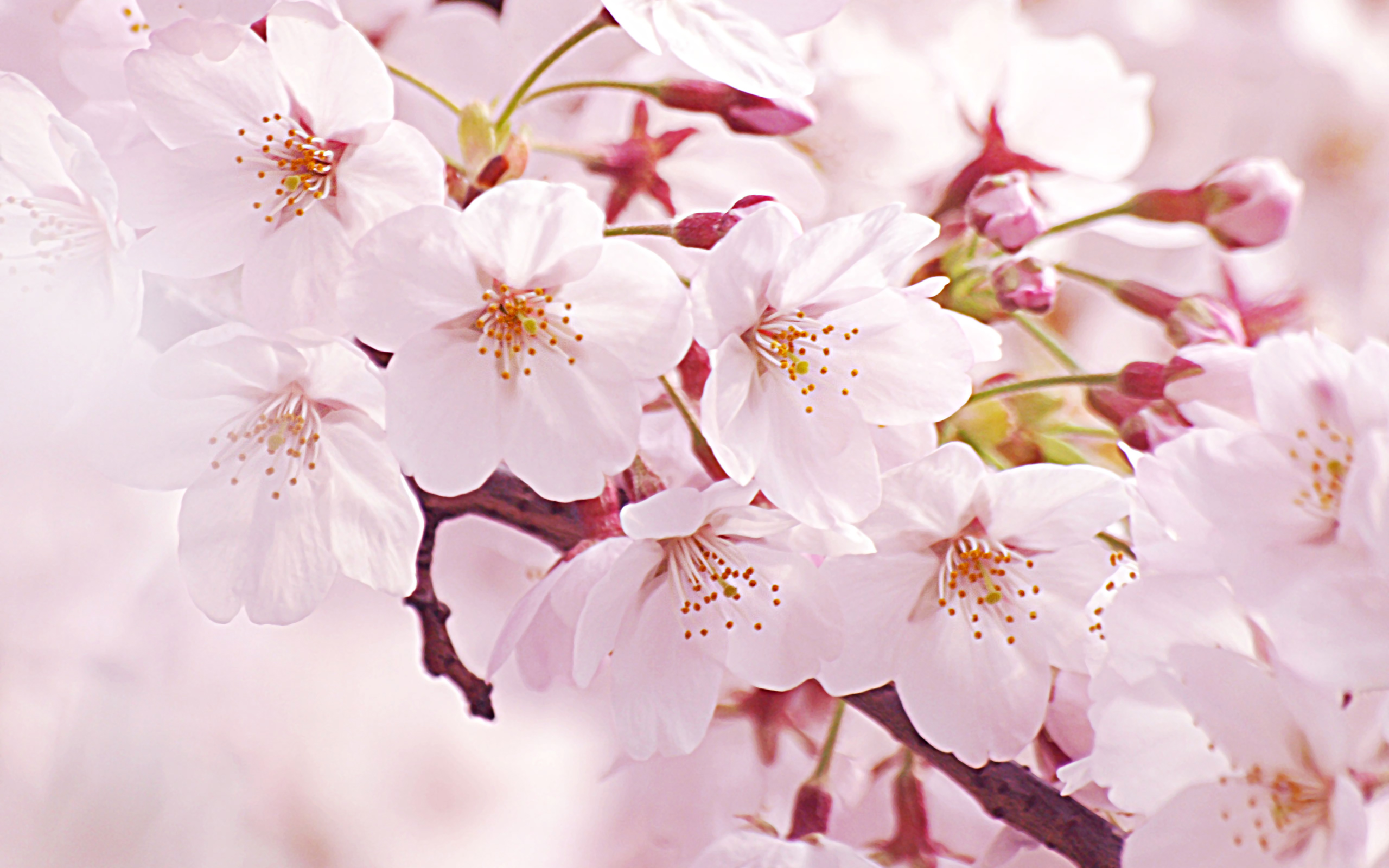 商用可 桜 サクラ のかわいい背景素材 フリー イラスト A4サイズ